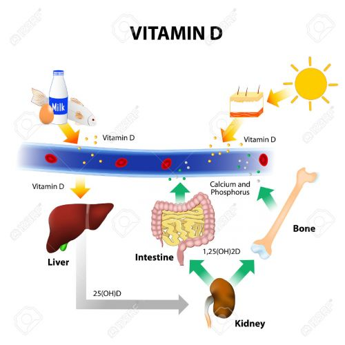 Vitamine D mechanisme
