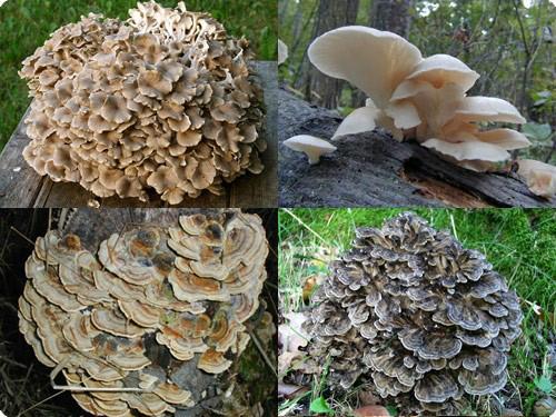 medicinale-paddenstoelen